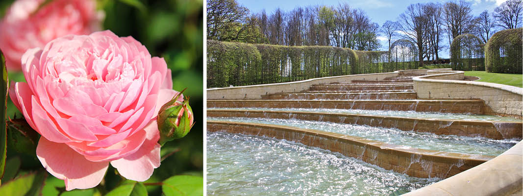 "Alnwick Garden med ""The Alnwick Rose"", England"