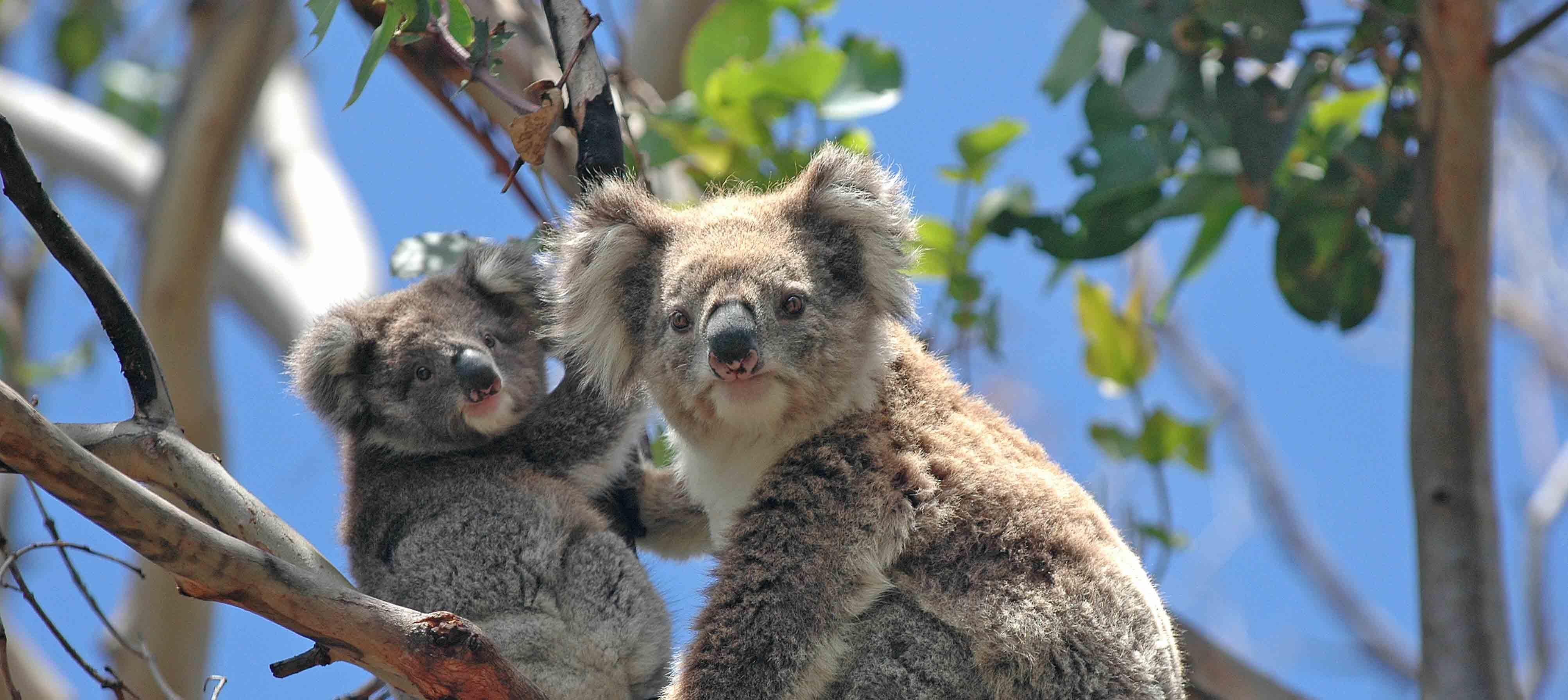 Oplev dyrelivet i Australien med Kulturrejser