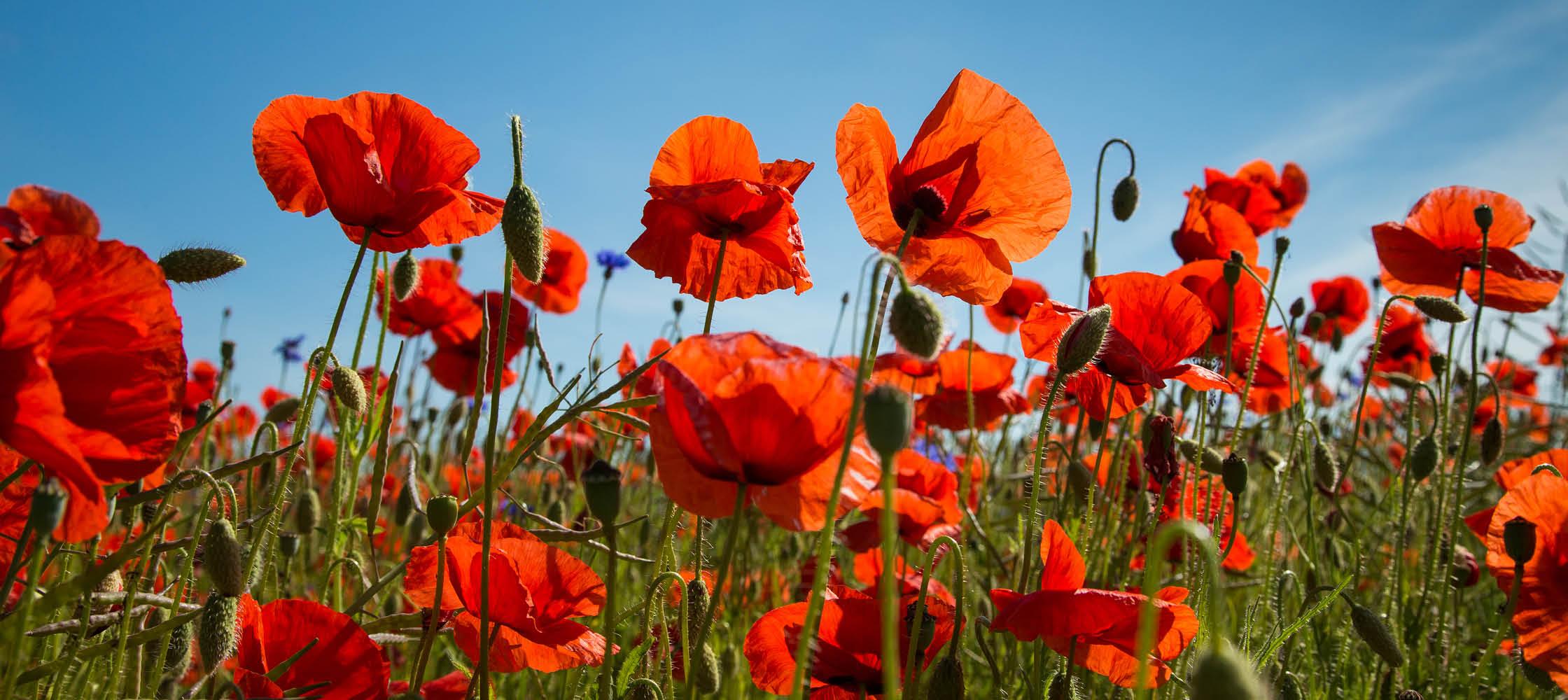 estland, blomster