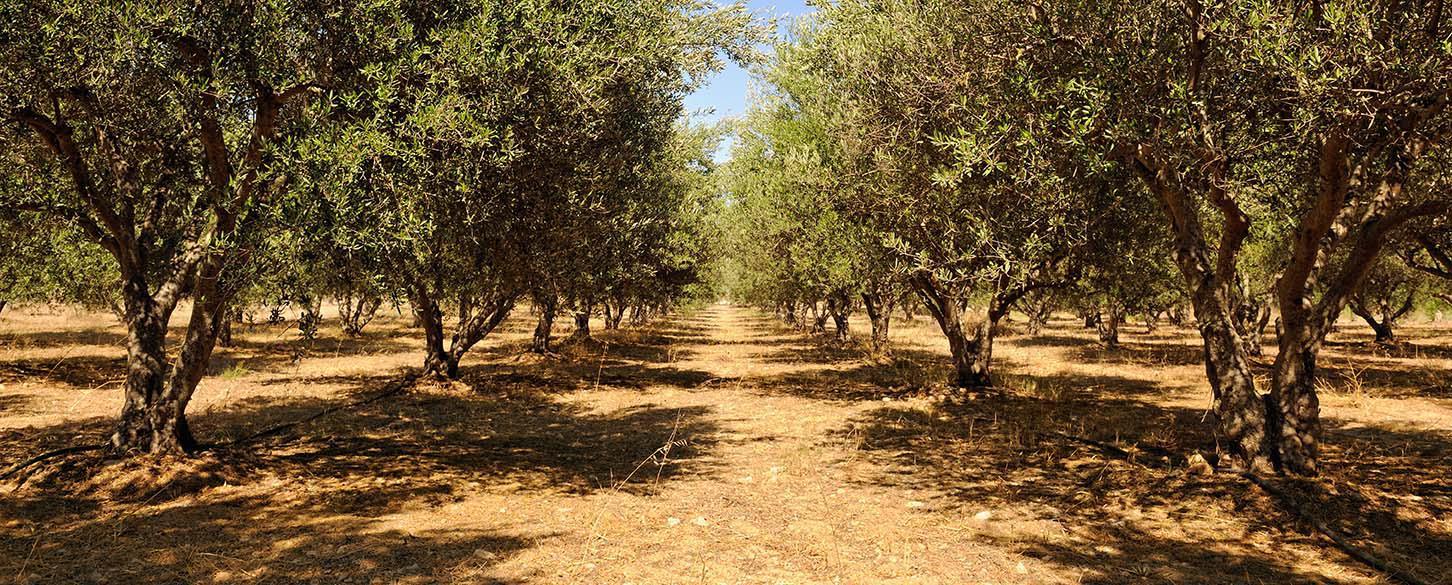 Olivenlund kreta