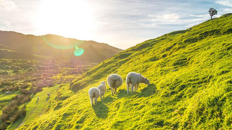 Får er blot ét af mange syn, I mødes med undervejs på vandretur i Irland med Kulturrejser Europa