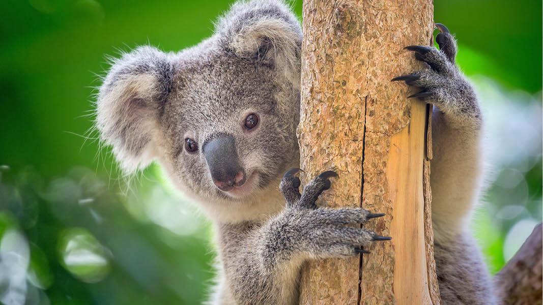 Rejser til Australien - Koala bjørn