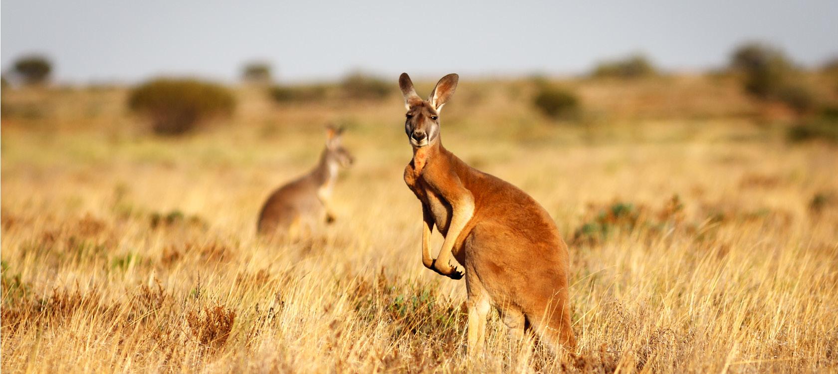 australien krydstogt stor heade