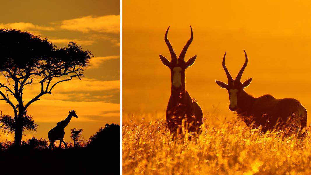 Giraf og gazelle, safari, Sydafrika